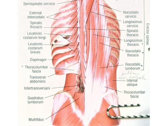 Uams Department Of Anatomy Muscles Of The Back